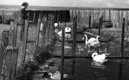 Abbotsbury, The Swan Breeding Pools c.1950