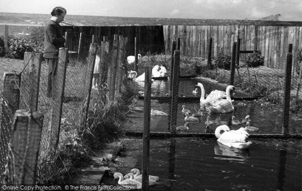 Abbotsbury, The Swan Breeding Pools c.1955