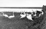 Abbotsbury, The Swannery c.1955