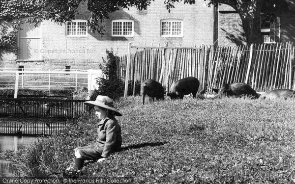 Andover, A Boy And Pigs 1906