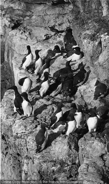 Anglesey, A Group Of Guillemots c.1960