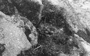 Annet, Gull's Nest 1891