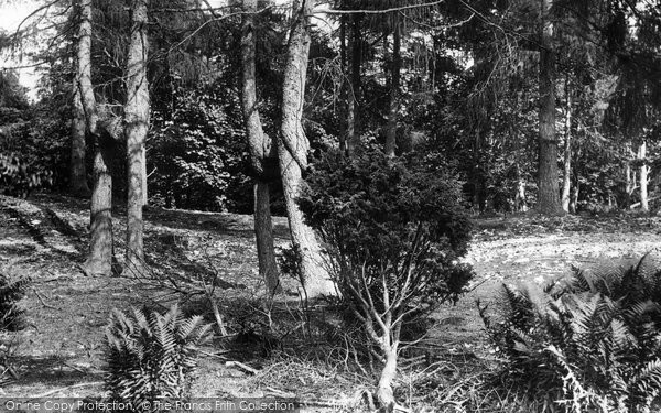 Arnside, Knotted Trees 1894