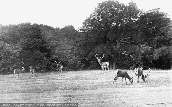 Arundel, The Deer, Arundel Park 1908