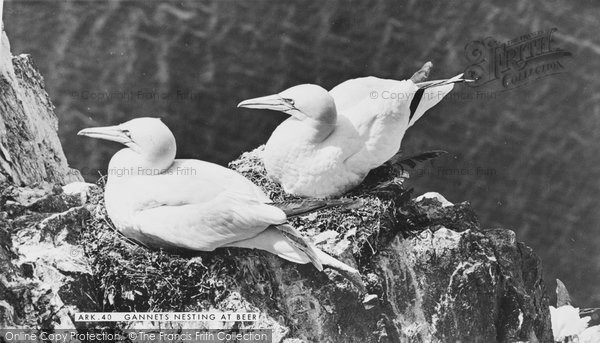 Beer, Gannets Nesting c.1960