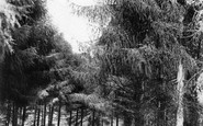 Beer, In The Pines 1907