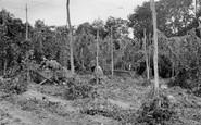 Bodiam, Hop Picking c.1955