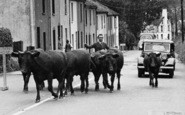 Bovey Tracey, Cows In Heathfield Terrace c.1955