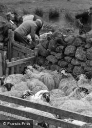 Skye, Sheep Shearing 1961