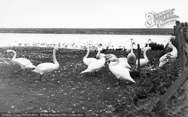 Photo of Abbotsbury, The Swannery c.1955