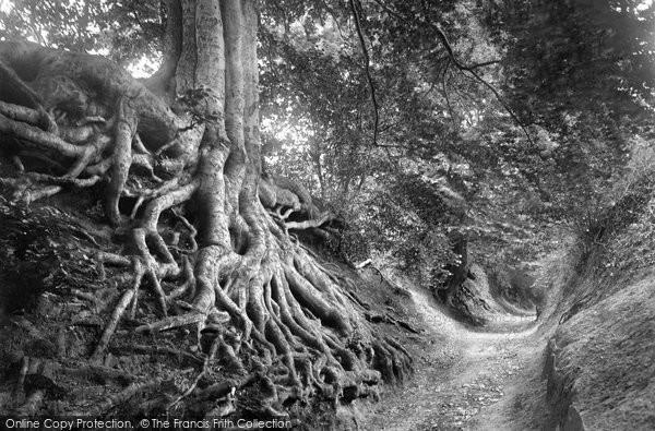 Photo of Albury, Beech Tree, Warren Lane 1928