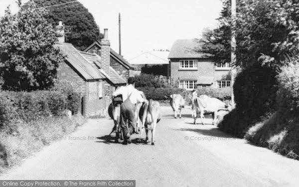 Photo of Alderholt, Farmer Driving Cows c.1960