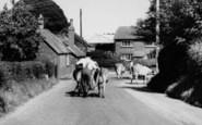 Alderholt, Farmer Driving Cows c.1960