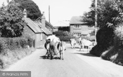 Alderholt, Farmer Driving Cows c.1960