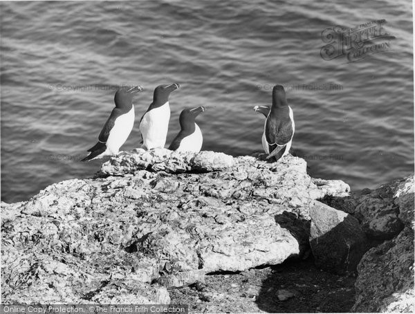 Anglesey, A Group Of Razorbills c.1960