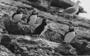 Anglesey, Puffins c.1960
