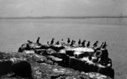 Anglesey, Puffins On Puffin Island c.1950