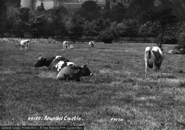 Photo of Arundel, Cows At Castle 1908