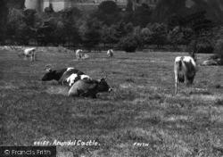 Arundel, Cows At Castle 1908