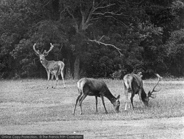 Photo of Arundel, The Deer, Arundel Park 1908
