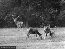Arundel, The Deer, Arundel Park 1908