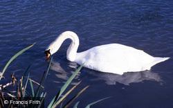 Wetland Centre, Mute Swan 1985, Arundel