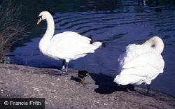 Wetland Centre, Mute Swans 1985, Arundel