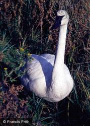 Wetland Centre, Trumpeter Swan 1985, Arundel