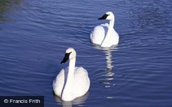 Wetland Centre, Trumpeter Swans 1985, Arundel