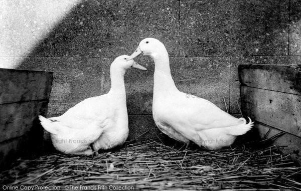 Photo of Aylesbury, Aylesbury Ducks c.1955