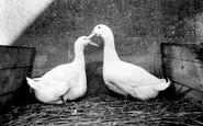 Aylesbury, Aylesbury Ducks c.1955