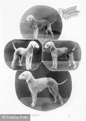Bedlington, Bedlington Terriers c.1960