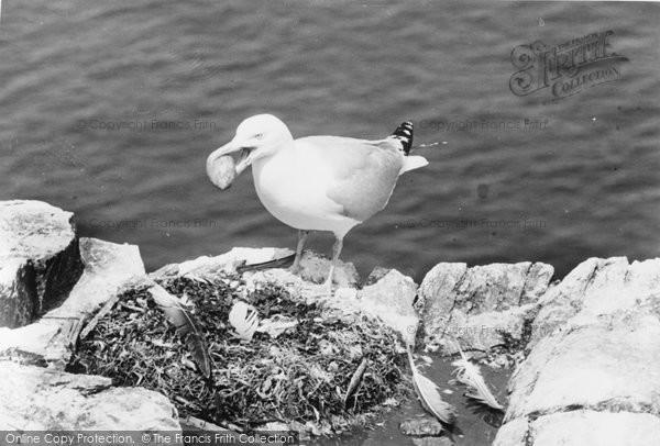 Beer, Herring Gull Stealing Gannet's Eggs c.1960