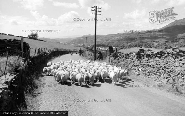 Photo of Blaenau Ffestiniog, Sheep On A Country Road 1961