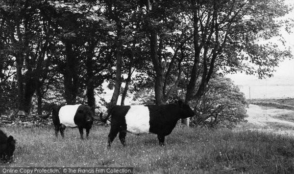 Borgue, Galloway Cattle c.1960