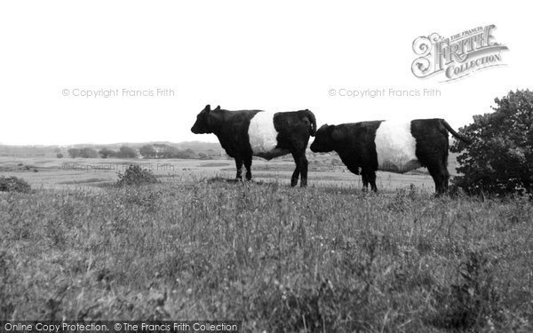 Borgue, Galloway Cattle c.1960