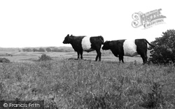 Galloway Cattle c.1960, Borgue
