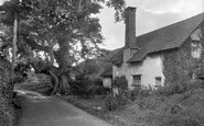 Bossington, Giant Walnut Tree 1931