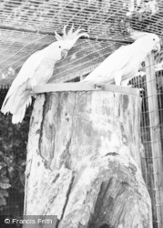 Bourton-on-The-Water, Cockatoos, Cotswold Botanical Gardens c.1965