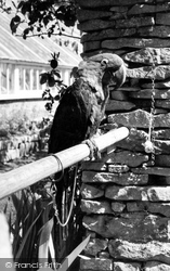 Parrot, Cotswold Botanical Gardens c.1965, Bourton-on-The-Water