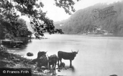 Bowness-on-Windermere, Cattle Near Ferry Nab c.1910, Bowness-on-Windermere