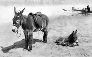 Bridlington, Donkey And Foal 1906