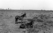 Burley, New Forest Ponies c.1960
