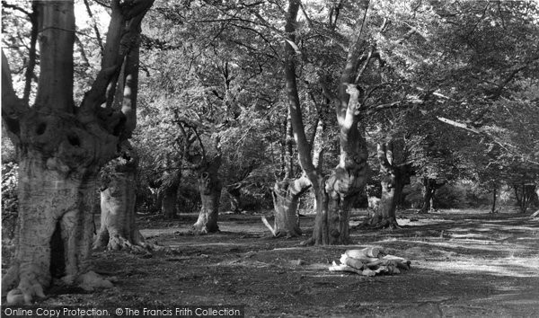 Burnham, Beeches, Old Trees c.1955