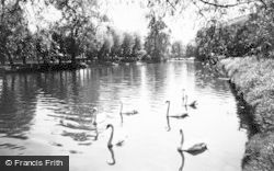 Burton Upon Trent, Swans On River Trent And Abbey Grounds c.1960
