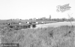 Castlemorton, Cows At The Mill Pond c.1960