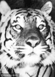 Chessington, Zoo, A Tiger c.1960