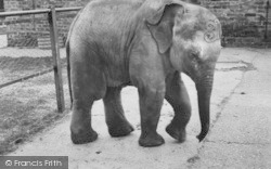 Chessington, Zoo, Baby Elephant c.1965