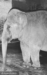 Chessington, Zoo, Elephant c.1955