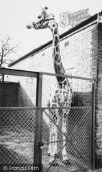 Chessington, Zoo, Giraffe c.1965